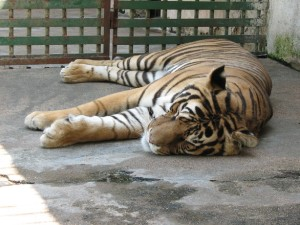 sleeping-tiger-1403657